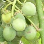 Agriculture et développement durable pour l'Afrique: le Jatropha Curcas