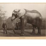 Histoire et culture d'Afrique: en savoir plus sur Jumbo l'éléphant...