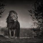 Photographie Afrique: le lion de la savane par Nick Brandt