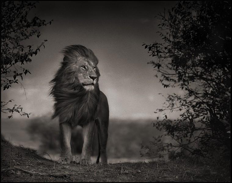 photographie afrique le lion de la savane par nick brandt. Black Bedroom Furniture Sets. Home Design Ideas